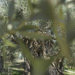Passing an olive tree