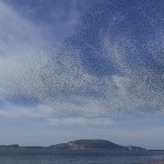 Starlings in the sky/Ephemeris XIX