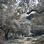 Ephemeris XXXI-Olive Tree Valley under snow